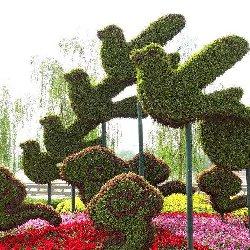 南京和平鸽绿雕