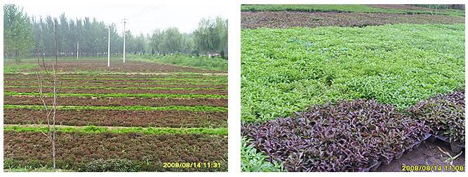 开封市大地菊花五色草艺术造型有限公司五色草种植基地