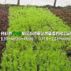 开封五色草种苗种植园