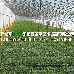 开封大地菊花种苗繁育基地