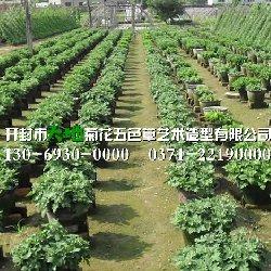 开封菊花种苗种植基地
