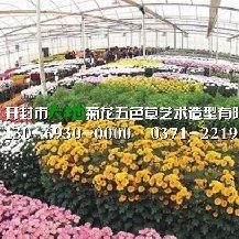 优质菊花种苗繁育基地