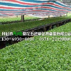 开封菊花种苗价格