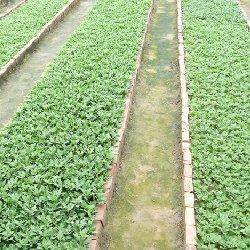 优质菊花种苗培育基地