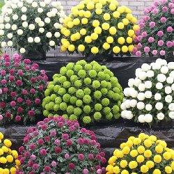 多品种菊花种苗