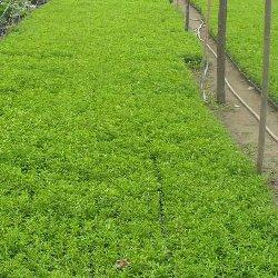 五色草种苗种植基地