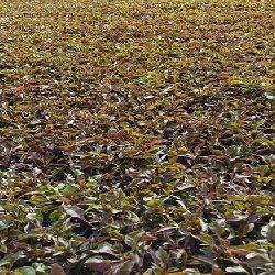 广袤的五色草种苗基地