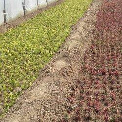 大棚内的五色草种苗